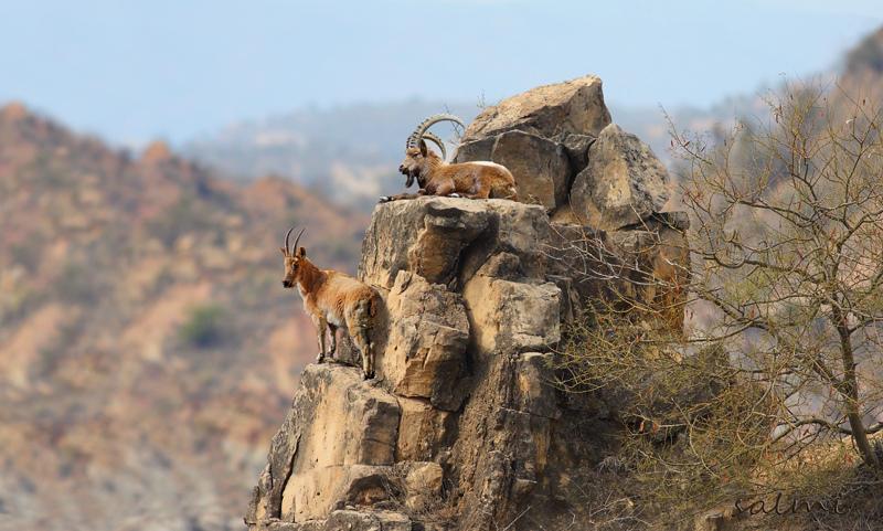 Горный козел и горная коза на утесе
